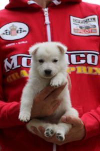 White-Swiss-Shepherd-Puppies-BTWW-GosaNostra-September-2018-0029