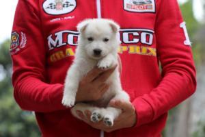 White-Swiss-Shepherd-Puppies-BTWW-GosaNostra-September-2018-0030