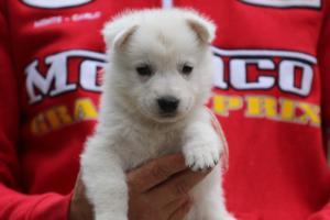 White-Swiss-Shepherd-Puppies-BTWW-GosaNostra-September-2018-0031