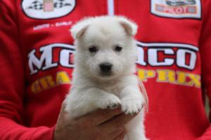 White-Swiss-Shepherd-Puppies-BTWW-GosaNostra-September-2018-0032