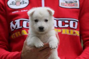 White-Swiss-Shepherd-Puppies-BTWW-GosaNostra-September-2018-0033