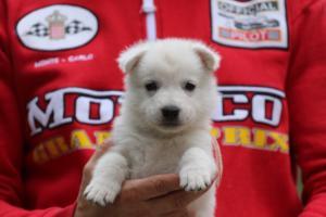 White-Swiss-Shepherd-Puppies-BTWW-GosaNostra-September-2018-0035