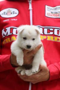 White-Swiss-Shepherd-Puppies-BTWW-GosaNostra-September-2018-0036