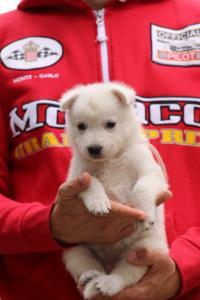 White-Swiss-Shepherd-Puppies-BTWW-GosaNostra-September-2018-0037