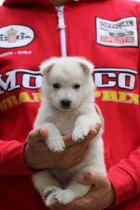 White-Swiss-Shepherd-Puppies-BTWW-GosaNostra-September-2018-0038
