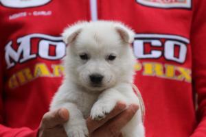 White-Swiss-Shepherd-Puppies-BTWW-GosaNostra-September-2018-0039