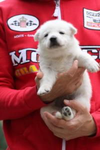 White-Swiss-Shepherd-Puppies-BTWW-GosaNostra-September-2018-0040