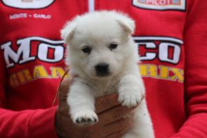 White-Swiss-Shepherd-Puppies-BTWW-GosaNostra-September-2018-0041