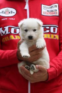 White-Swiss-Shepherd-Puppies-BTWW-GosaNostra-September-2018-0042