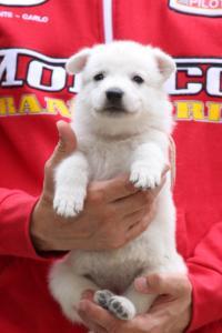 White-Swiss-Shepherd-Puppies-BTWW-GosaNostra-September-2018-0049