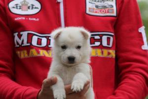White-Swiss-Shepherd-Puppies-BTWW-GosaNostra-September-2018-0050