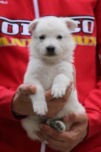 White-Swiss-Shepherd-Puppies-BTWW-GosaNostra-September-2018-0051