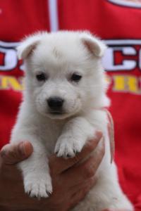 White-Swiss-Shepherd-Puppies-BTWW-GosaNostra-September-2018-0052