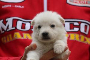 White-Swiss-Shepherd-Puppies-BTWW-GosaNostra-September-2018-0053