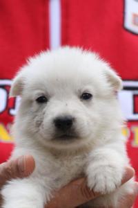 White-Swiss-Shepherd-Puppies-BTWW-GosaNostra-September-2018-0054