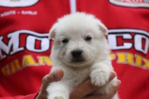 White-Swiss-Shepherd-Puppies-BTWW-GosaNostra-September-2018-0055
