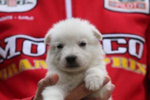 White-Swiss-Shepherd-Puppies-BTWW-GosaNostra-September-2018-0056