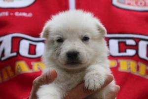 White-Swiss-Shepherd-Puppies-BTWW-GosaNostra-September-2018-0057