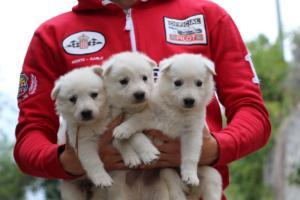 White-Swiss-Shepherd-Puppies-BTWW-GosaNostra-September-2018-0058
