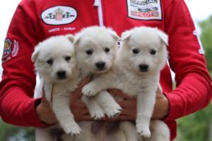 White-Swiss-Shepherd-Puppies-BTWW-GosaNostra-September-2018-0059