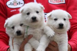White-Swiss-Shepherd-Puppies-BTWW-GosaNostra-September-2018-0060