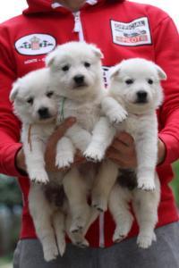 White-Swiss-Shepherd-Puppies-BTWW-GosaNostra-September-2018-0061