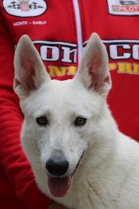 White-Swiss-Shepherd-Puppies-BTWW-GosaNostra-September-2018-0062