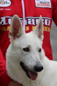 White-Swiss-Shepherd-Puppies-BTWW-GosaNostra-September-2018-0063