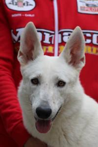 White-Swiss-Shepherd-Puppies-BTWW-GosaNostra-September-2018-0065
