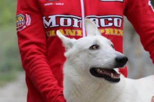 White-Swiss-Shepherd-Puppies-BTWW-GosaNostra-September-2018-0066