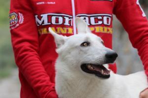 White-Swiss-Shepherd-Puppies-BTWW-GosaNostra-September-2018-0067