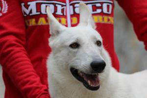 White-Swiss-Shepherd-Puppies-BTWW-GosaNostra-September-2018-0068