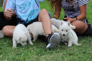 White-Swiss-Shepherd-Puppies-BTWW-GosaNostra-September-12092018-0001