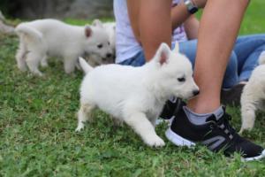 White-Swiss-Shepherd-Puppies-BTWW-GosaNostra-September-12092018-0004