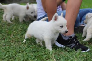 White-Swiss-Shepherd-Puppies-BTWW-GosaNostra-September-12092018-0005