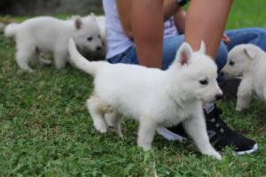 White-Swiss-Shepherd-Puppies-BTWW-GosaNostra-September-12092018-0006