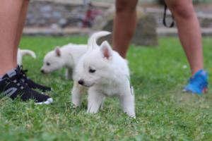 White-Swiss-Shepherd-Puppies-BTWW-GosaNostra-September-12092018-0007