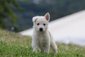 White-Swiss-Shepherd-Puppies-BTWW-GosaNostra-September-12092018-0008