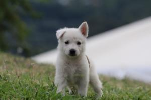 White-Swiss-Shepherd-Puppies-BTWW-GosaNostra-September-12092018-0009