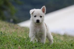 White-Swiss-Shepherd-Puppies-BTWW-GosaNostra-September-12092018-0010
