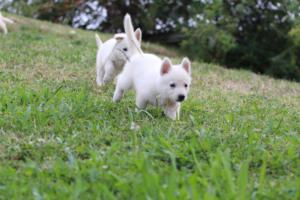 White-Swiss-Shepherd-Puppies-BTWW-GosaNostra-September-12092018-0011