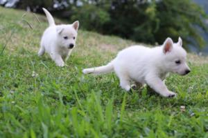 White-Swiss-Shepherd-Puppies-BTWW-GosaNostra-September-12092018-0012