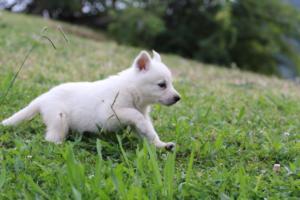 White-Swiss-Shepherd-Puppies-BTWW-GosaNostra-September-12092018-0013