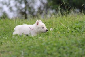 White-Swiss-Shepherd-Puppies-BTWW-GosaNostra-September-12092018-0014