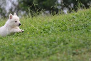White-Swiss-Shepherd-Puppies-BTWW-GosaNostra-September-12092018-0015