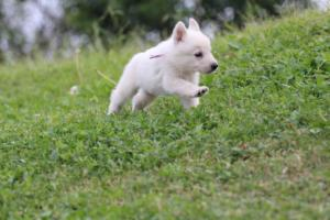 White-Swiss-Shepherd-Puppies-BTWW-GosaNostra-September-12092018-0016
