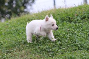 White-Swiss-Shepherd-Puppies-BTWW-GosaNostra-September-12092018-0017