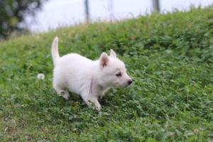 White-Swiss-Shepherd-Puppies-BTWW-GosaNostra-September-12092018-0018