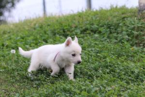 White-Swiss-Shepherd-Puppies-BTWW-GosaNostra-September-12092018-0019