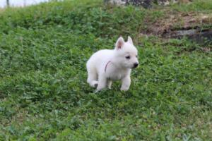 White-Swiss-Shepherd-Puppies-BTWW-GosaNostra-September-12092018-0020